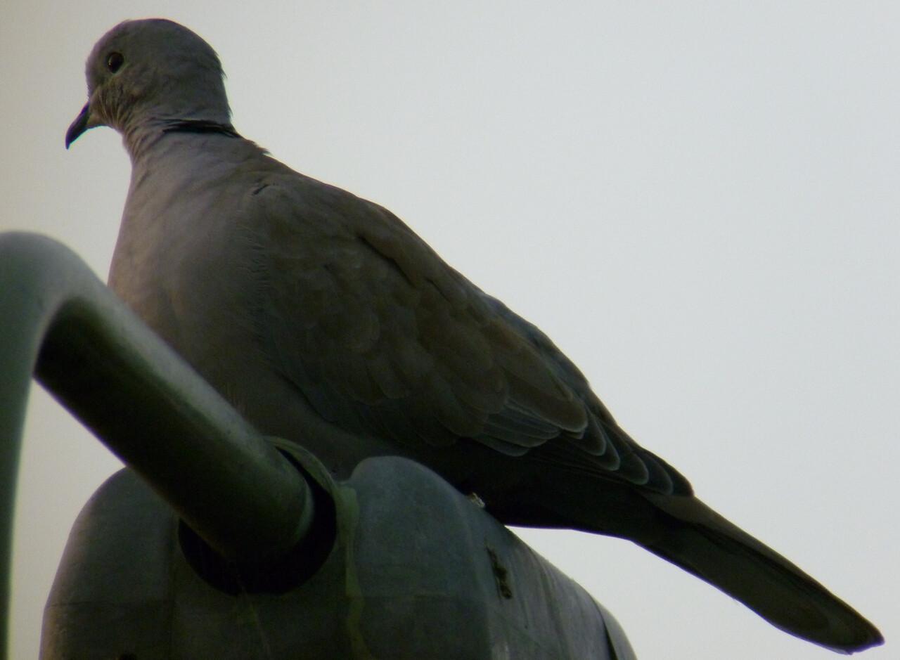 collared dove wokingham scope 23 Sept 2010