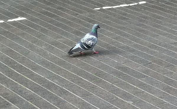 Feral Pigeon St Albans April 2011