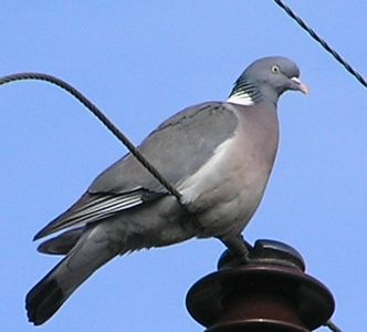 Woodpigeon , Cotswolds Mar 2005