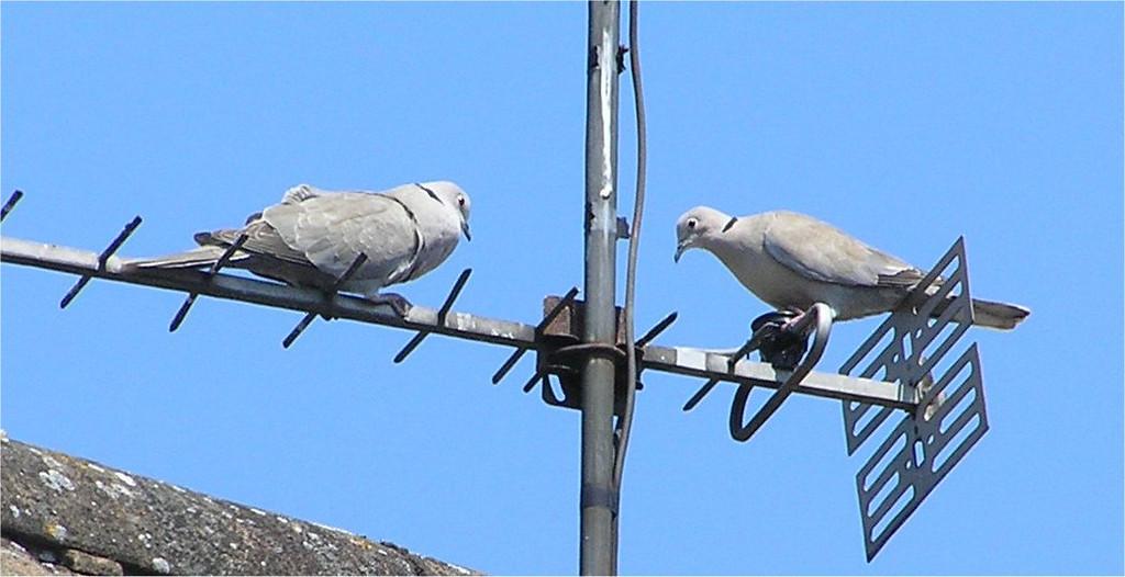 Collared Doves, Wokingham June 2005