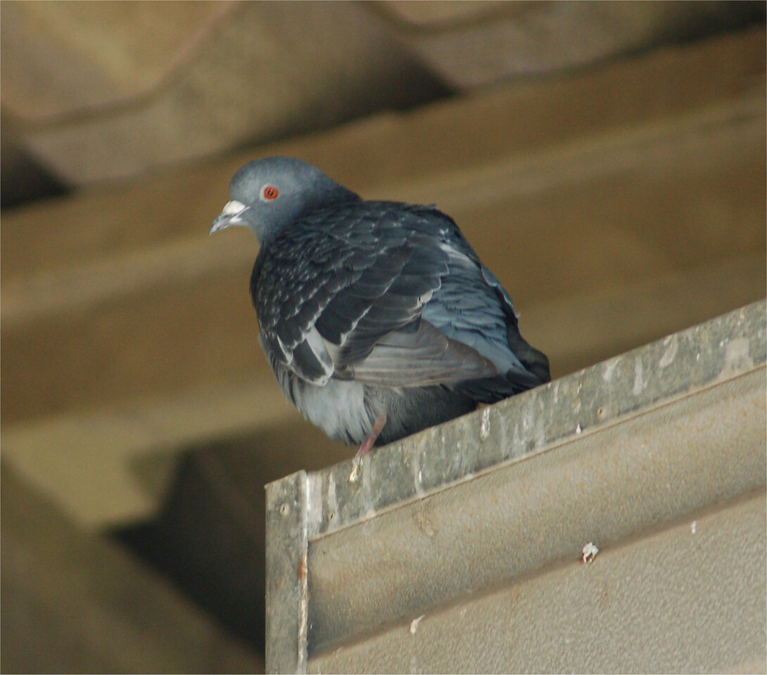 Feral Pigeon, Berkhamsted Apr 2007