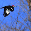 pileated flight