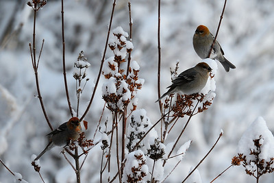 Pine Grosbeak, Fairbanks, Alaska