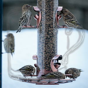 Pine Siskins, on, or waiting for a spot on, the feeder..