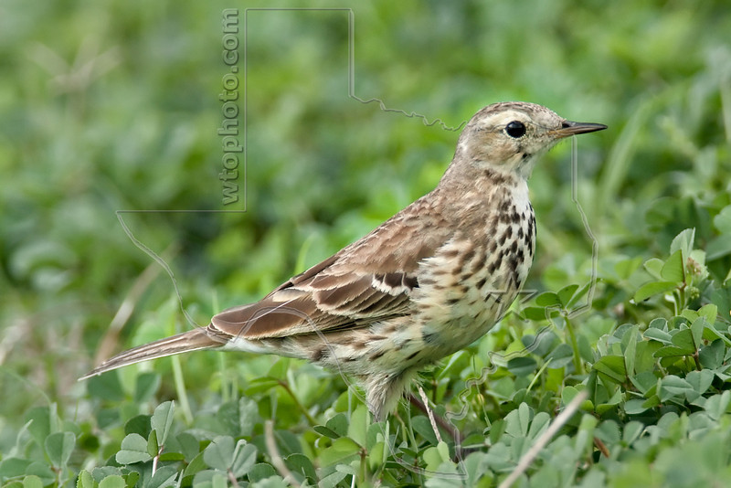 American Pipit,<br /> Brazos Bend State Park, Texas