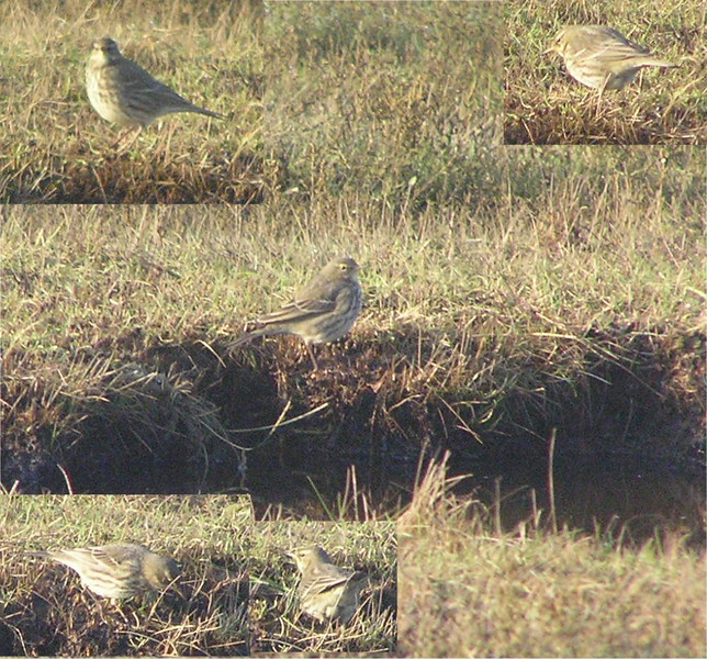 Meadow Pipit , Standpit Marsh Dec 2006