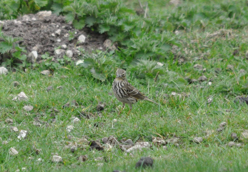 Meadow Pipit  Ivinghoe April 2011