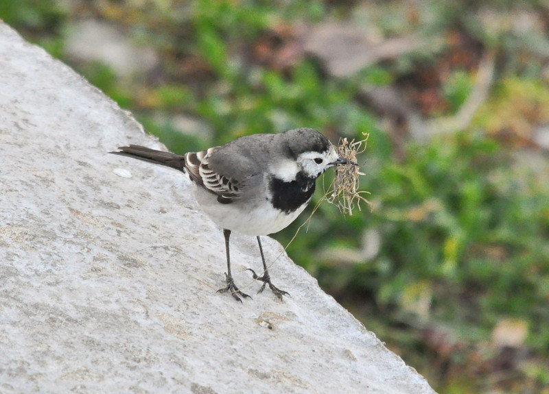 Pale Pied Wagtail Startops End Mar 2012