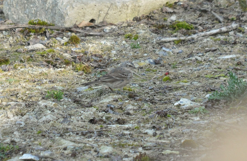 Water Pipit Startops End March 2012