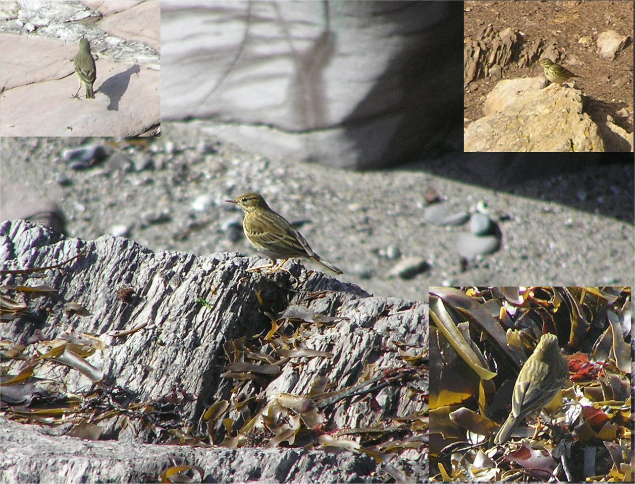Rock Pipit Rame Oct 2006