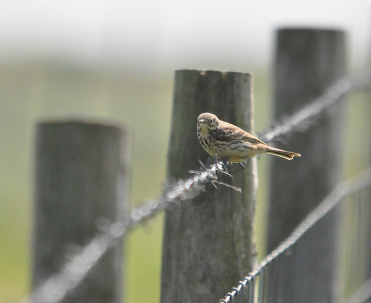 Meadow Pipit Flamborough April 2011