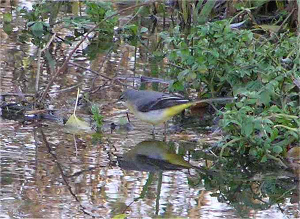 Grey wagtail Flackwell Dec 2005