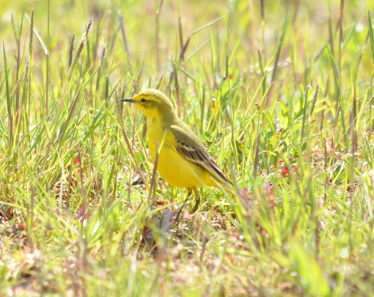 Yellow Wagtail Frampton Marsh April 2011