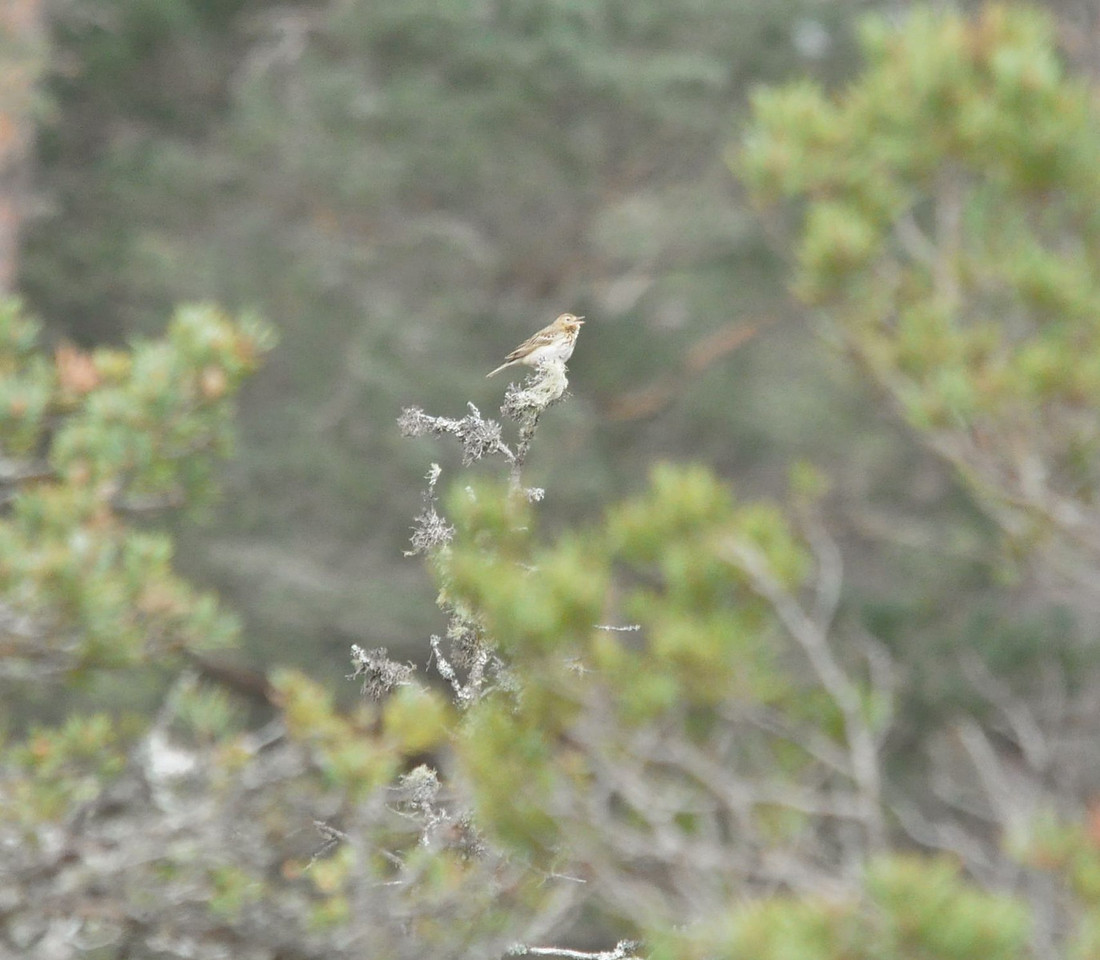 Tree Pipit, Achlean Burn, May 2012