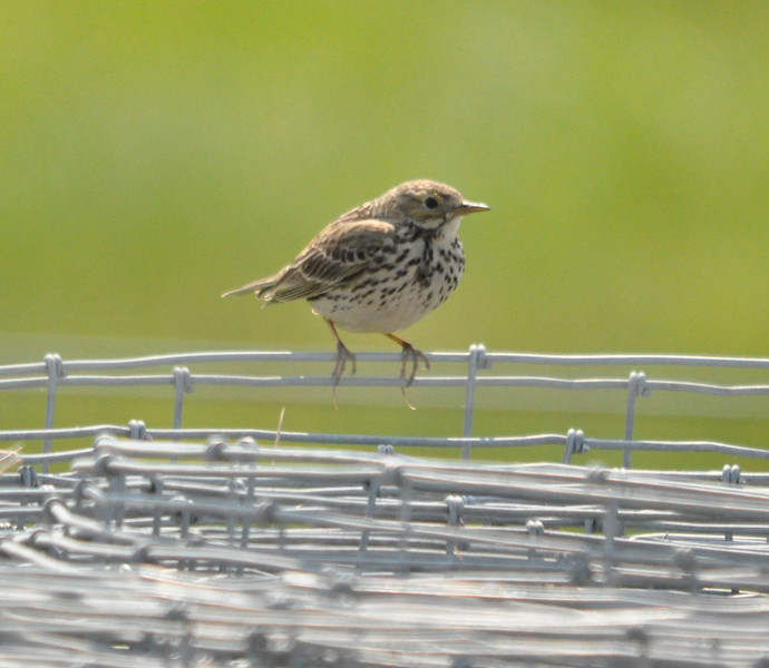 Meadow Pipit on wire Cley April 2011
