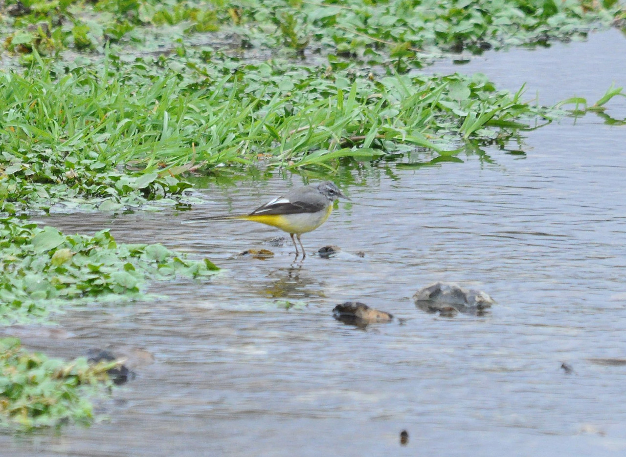 Grey Wagtail Waters End Mar 2012