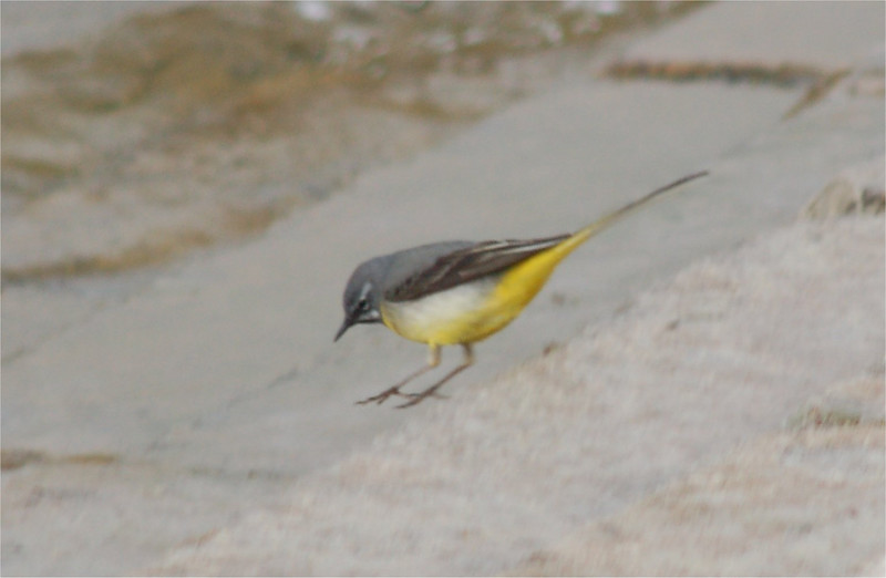 Grey Wagtail Chew Mar 2007