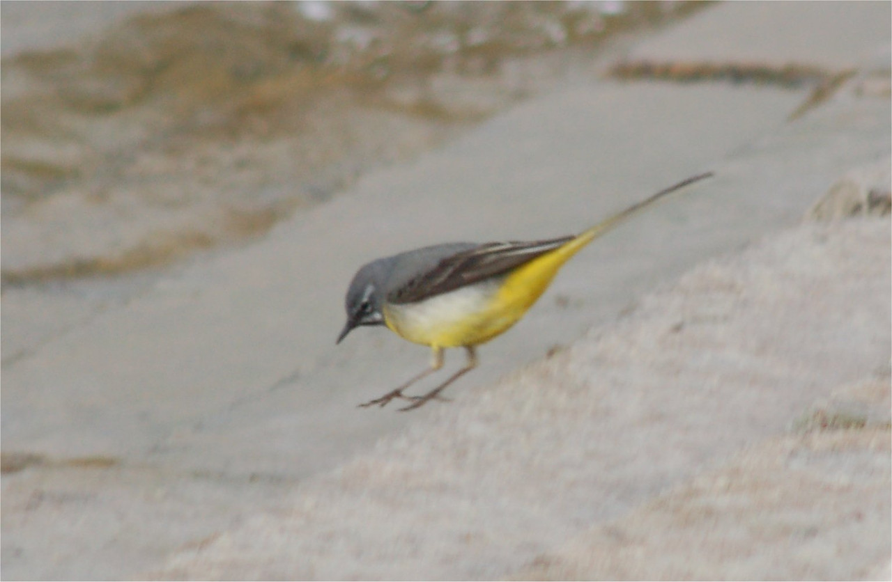 Grey Wagtail Chew Mar 2007