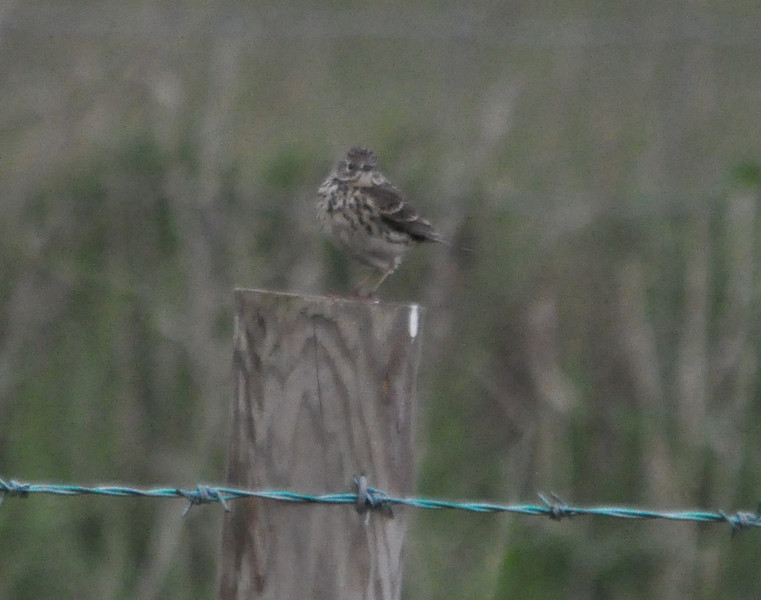 meadow pipit filey april 2011