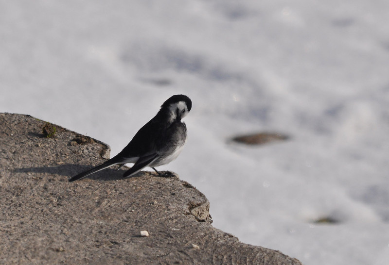 Pied Wagtail Startops Feb 2012