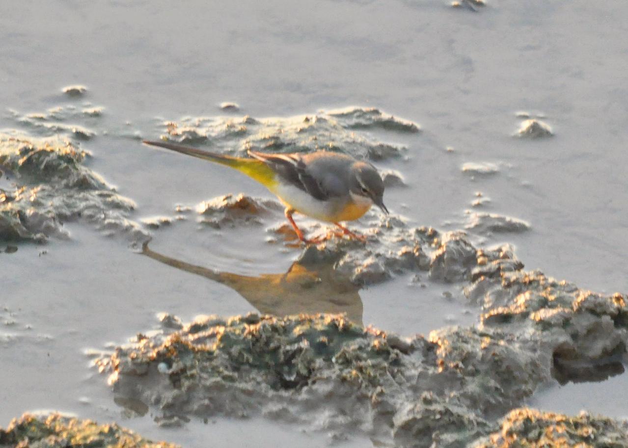 Grey Wagtail Startops End Mar 2012