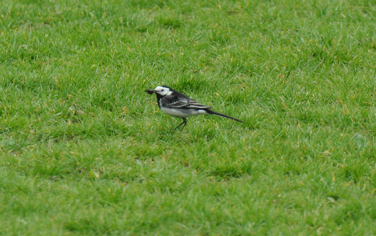 Pied Wagtail Berkhamsted Football Ground May 2011