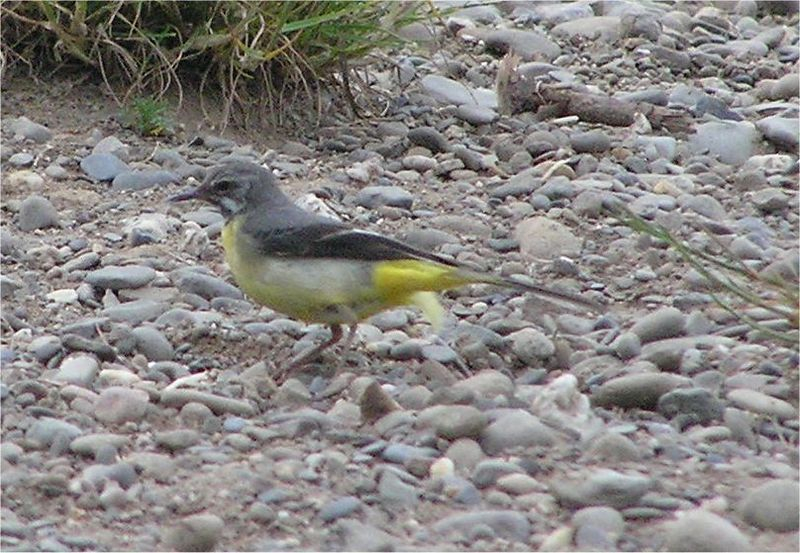 Grey wagtail Symonds Yat June 2005
