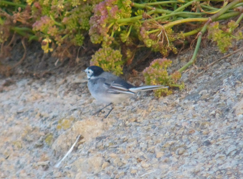 *** Wagtail, White