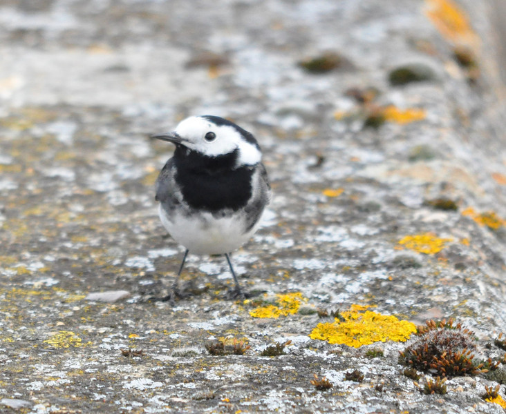 Pied Wagtail Marsworth April 2011