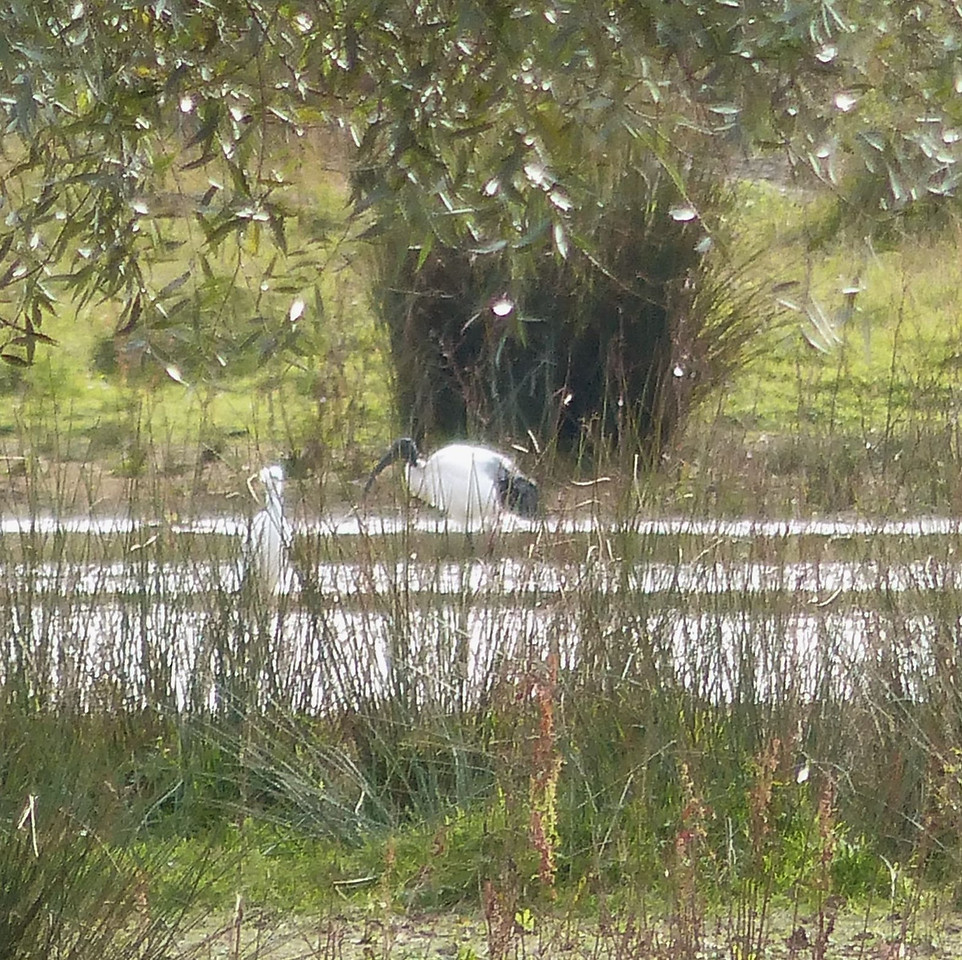 Sacred Ibis, Stanwick Lakes Sept 2012