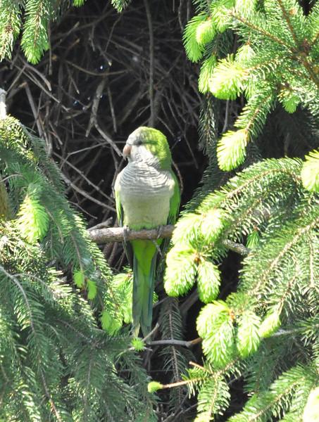 Monk Parakeet 2012