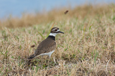 Plovers & Lapwings