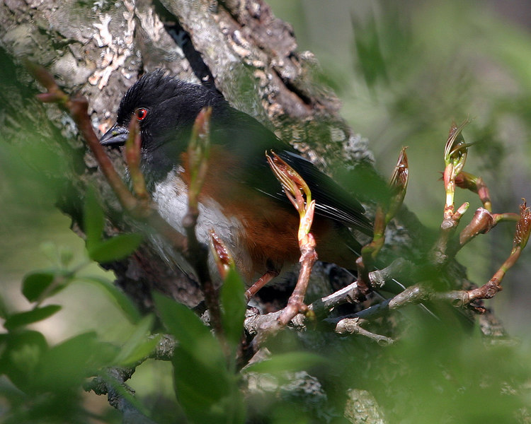 Male Eastern Towhee through some branches.