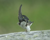 Tree Swallow Antics