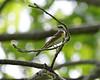 Immature Male Redstart