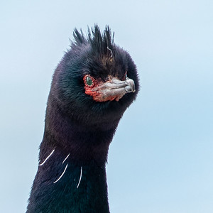 2020-03-14  Pelagic Cormorant