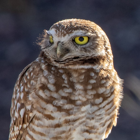 2020-03-01  Burrowing Owl