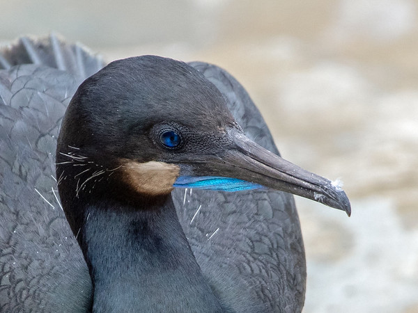 2020-03-13  Brandt's Cormorant