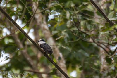 Puffbirds