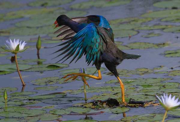 Purple Gallinules, Anahuac NWR 2014