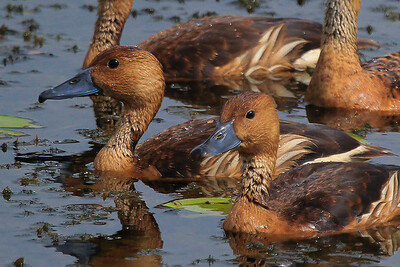 Fulvous Whistling Ducks