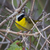 Maryland Yellowthroat