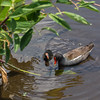 Common Gallinules (parent and youngster)