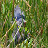 Gray-headed Swamphens (parent and youngster)