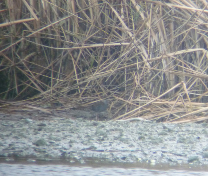 Water Rail Marsworth 21 Dec 2011