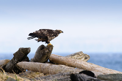 Juvenile Bald Eagle hanging on to a log during some windy weather.