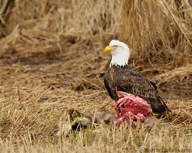 Bald Eagle eating road kill