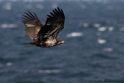Juvenile Bald Eagle riding the wind currants by the boat ramp in Willow Point.