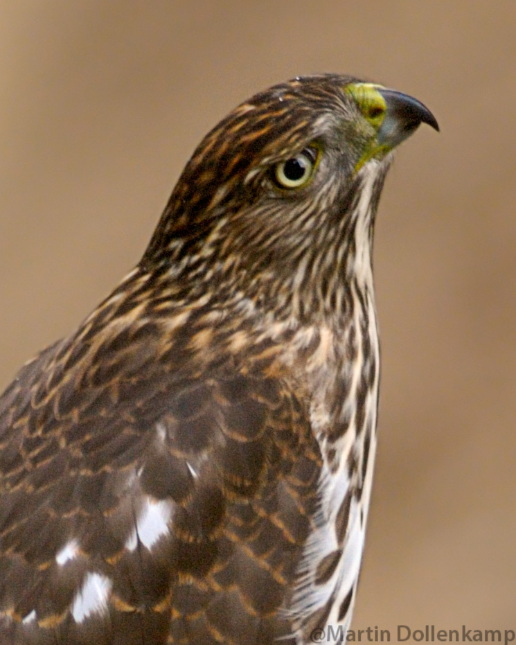 Coopers Hawk Imature
