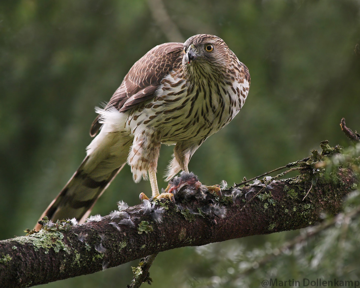 Coopers Hawk eating a Pine Siskin.